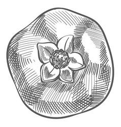 Pomegranate fruit tasty fresh food monochrome vector