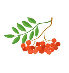Branch of ashberries isolated on white set vector