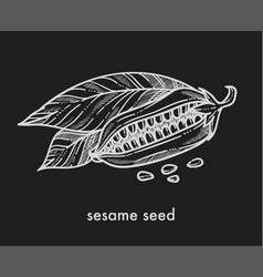 Sesame seeds from ripe plant with big leaves vector