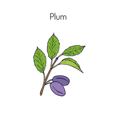 plum branch with leaves vector image vector image