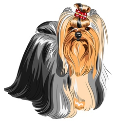 Yorkshire terrier with elegant exhibition haircut vector