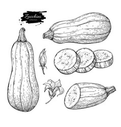 zucchini hand drawn set vector image