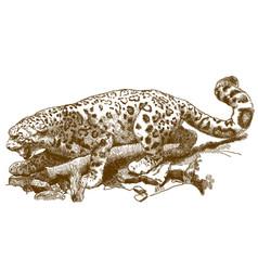 engraving snow leopard vector image