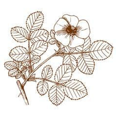 rosa balsamica vector image