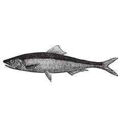 European anchovy vintage engraving vector