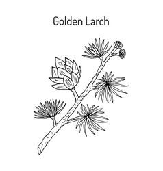 Golden larch pseudolarix amabilis medicinal vector