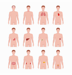 internal organs placed on man body silhouettes vector image