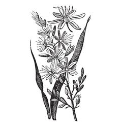 Branched Asphodel vintage engraving vector image vector image