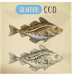 sketch of atlantic or pacific cod fish or seafood vector image