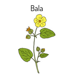Bala sida cordifolia or country mallow flannel vector