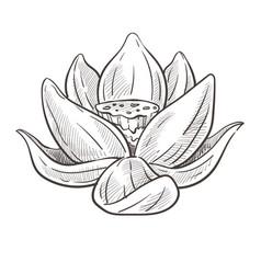 Wild oriental flower lotus bud isolated sketch vector