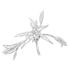 hand drawn flowers lilies on a white background vector image
