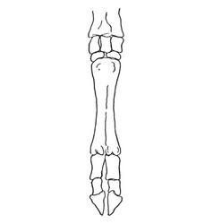 Skeletal hoof vintage vector