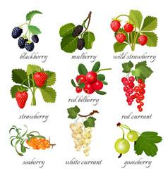 black blackberry and mulberry wild strawberry vector image