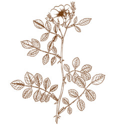 Rosa inodora vector