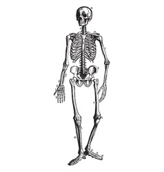 The bony and cartilaginous skeleton vintage vector