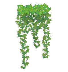 Hanging branches of ivy vector