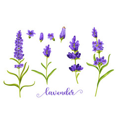 lavender flower in realistic watercolor vector image