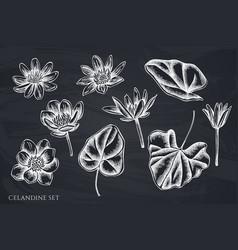 set hand drawn chalk celandine vector image