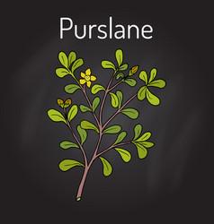 Common purslane portulaca oleracea or verdolaga vector