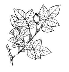 rosa pygmea vector image