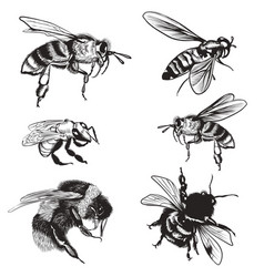 Hand drawn set bees bumblebee high detailed vector