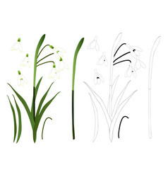 white snowdrop flower outline vector image vector image