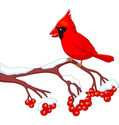 Cartoon beautiful cardinal bird posing vector