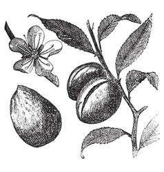 Almond tree vintage engraving vector image vector image