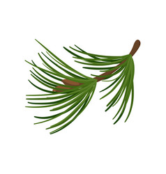 branch of pine tree with long green needles vector image