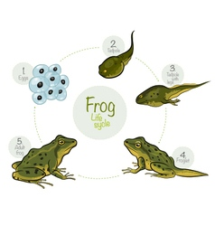 Life cycle of a frog vector