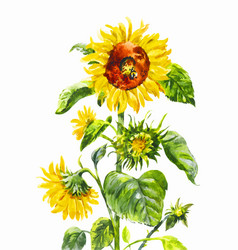 Watercolor sunflower vintage hand-drawn isolated vector