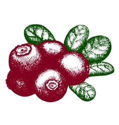 sketch of lingonberry vector image vector image