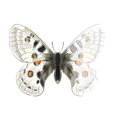 Butterfly Parnassius Apollonius vector