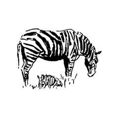 Zebra hand drawn graphic on vector