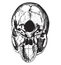 Base of the skull vintage vector