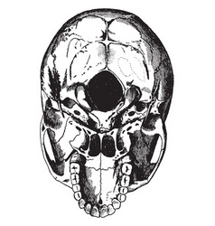 Base skull vintage vector