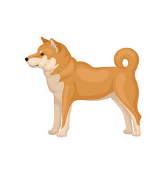 Adult shiba inu standing in pose side view dog vector