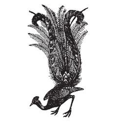 Lyre bird vintage vector