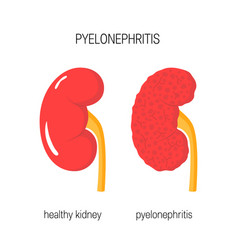 healthy kidneys vector image