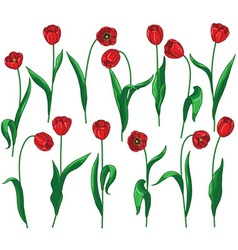 red tulip set vector image