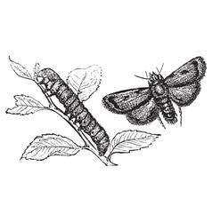 Turnip moth vector image vector image