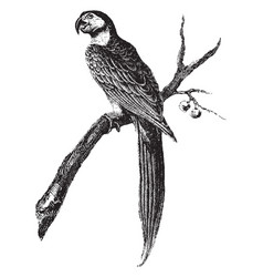 Macaw vintage vector