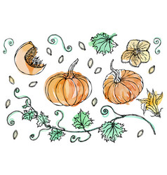 Watercolour vegetable pumpkin plant with leaves vector