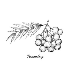 Hand drawn of ripe rowanberries on white backgroun vector