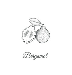 bergamot sketch hand drawing vector image