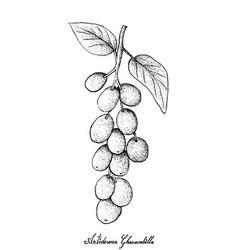 hand drawn of antidesma ghaesembilla on white back vector image