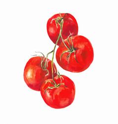Tomatoes on a branch isolated on white watercolor vector