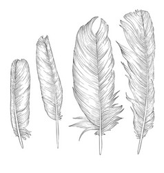 drawing feathers vector image