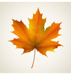 Single autumn maple leaf vector